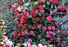 Bezaubernde Kamelienblüte am Comer See