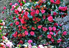 Elegant camellias bloom on Lake Como