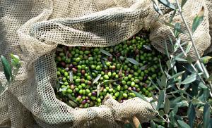olivenernte-comer-see