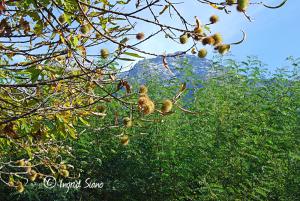 esskastanienbaum-am-comer-see