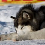 Alaskan Malamute in Winter on Lake Como