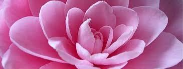 Kamelienblüte am Comer See