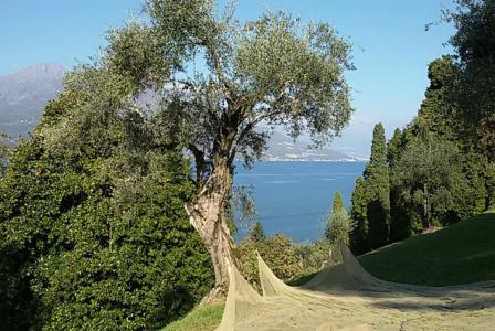 Harvest Time for Olives on Lake Como